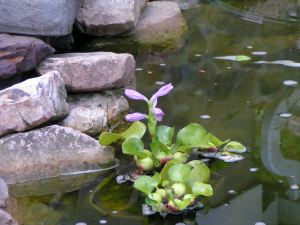 Floating Water Plant, Eichhornia Crassipes