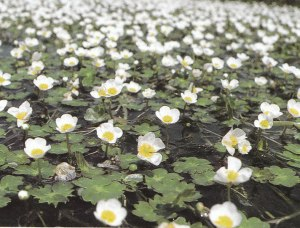 Water-Lily-Like Plant, Ranunculus aquatilis