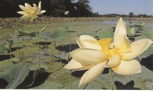 Lotus in still pool of a lake